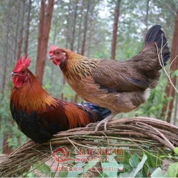 风情网 纯天然五谷杂粮喂养走地七彩山鸡 雌鸡 原鸡 野鸡 随着社会
