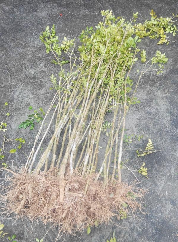 沉香树批发另售农家自种本地九里香大型风景树 九里香盘景 九里香
